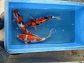 御三家錦鯉(來自福爾摩莎及台灣錦鯉網的超級錦鯉相片):DSC00858-1.JPG