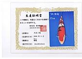 御三家錦鯉(來自福爾摩莎及台灣錦鯉網的超級錦鯉相片):cert-4.jpg