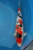 御三家錦鯉(來自福爾摩莎及台灣錦鯉網的超級錦鯉相片):11030623144f71cb7b5bc1bded.jpg