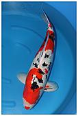 御三家錦鯉(來自福爾摩莎及台灣錦鯉網的超級錦鯉相片):御三家大正種公.jpg