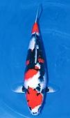 御三家錦鯉(來自福爾摩莎及台灣錦鯉網的超級錦鯉相片):1103091113da3a6b4980650caf.jpg