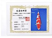御三家錦鯉(來自福爾摩莎及台灣錦鯉網的超級錦鯉相片):cert-5.jpg