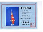 御三家錦鯉(來自福爾摩莎及台灣錦鯉網的超級錦鯉相片):cert-7.jpg