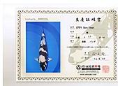 御三家錦鯉(來自福爾摩莎及台灣錦鯉網的超級錦鯉相片):cert-8.jpg