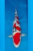 御三家錦鯉(來自福爾摩莎及台灣錦鯉網的超級錦鯉相片):大正特3.jpg