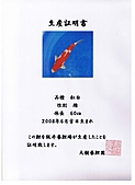 御三家錦鯉(來自福爾摩莎及台灣錦鯉網的超級錦鯉相片):cert-11.jpg