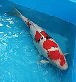 御三家錦鯉(來自福爾摩莎及台灣錦鯉網的超級錦鯉相片):大正特4.jpg
