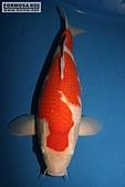御三家錦鯉(來自福爾摩莎及台灣錦鯉網的超級錦鯉相片):149328467_1.jpg