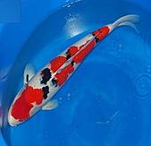 御三家錦鯉(來自福爾摩莎及台灣錦鯉網的超級錦鯉相片):大正特5.jpg