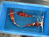 御三家錦鯉(來自福爾摩莎及台灣錦鯉網的超級錦鯉相片):DSC00857.JPG