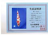 御三家錦鯉(來自福爾摩莎及台灣錦鯉網的超級錦鯉相片):cert-14.jpg