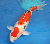御三家錦鯉(來自福爾摩莎及台灣錦鯉網的超級錦鯉相片):大正特7.jpg
