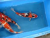 御三家錦鯉(來自福爾摩莎及台灣錦鯉網的超級錦鯉相片):DSC00859.JPG