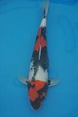 御三家錦鯉(來自福爾摩莎及台灣錦鯉網的超級錦鯉相片):1103062314b138c14445b11697.jpg