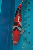御三家錦鯉(來自福爾摩莎及台灣錦鯉網的超級錦鯉相片):110306231477c3cb91cfc4e177.jpg