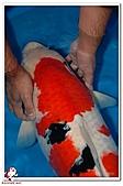 御三家錦鯉(來自福爾摩莎及台灣錦鯉網的超級錦鯉相片):1006032336728ad13c83d2d88d.jpg