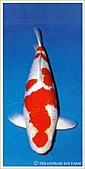 御三家錦鯉(來自福爾摩莎及台灣錦鯉網的超級錦鯉相片):1101251513671f5c7fb9b3df2c.jpg