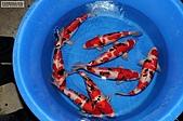 御三家錦鯉(來自福爾摩莎及台灣錦鯉網的超級錦鯉相片):松之助~1.JPG