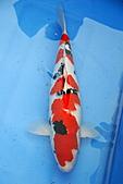 御三家錦鯉(來自福爾摩莎及台灣錦鯉網的超級錦鯉相片):1103062314059d52dbdf9f7f46.jpg