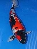 御三家錦鯉(來自福爾摩莎及台灣錦鯉網的超級錦鯉相片):昭和特1.jpg