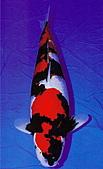 御三家錦鯉(來自福爾摩莎及台灣錦鯉網的超級錦鯉相片):昭和特3.jpg