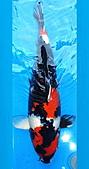 御三家錦鯉(來自福爾摩莎及台灣錦鯉網的超級錦鯉相片):昭和特4.jpg