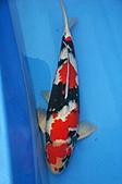御三家錦鯉(來自福爾摩莎及台灣錦鯉網的超級錦鯉相片):1103062314780ec0d14b3336e8.jpg