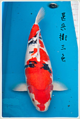 御三家錦鯉(來自福爾摩莎及台灣錦鯉網的超級錦鯉相片):1104011949aedcba1f99736d6d.jpg