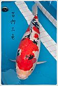 御三家錦鯉(來自福爾摩莎及台灣錦鯉網的超級錦鯉相片):11040119492910f79a925c43f4.jpg