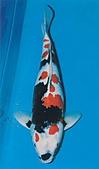 御三家錦鯉(來自福爾摩莎及台灣錦鯉網的超級錦鯉相片):昭和特5.jpg