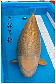御三家錦鯉(來自福爾摩莎及台灣錦鯉網的超級錦鯉相片):1104011949e6611176d4217485.jpg