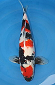 御三家錦鯉(來自福爾摩莎及台灣錦鯉網的超級錦鯉相片):昭和特6.jpg