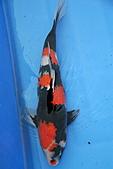 御三家錦鯉(來自福爾摩莎及台灣錦鯉網的超級錦鯉相片):110306231456261cd03726daa5.jpg