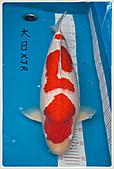 御三家錦鯉(來自福爾摩莎及台灣錦鯉網的超級錦鯉相片):110401194953397bdbe3429583.jpg