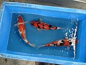 御三家錦鯉(來自福爾摩莎及台灣錦鯉網的超級錦鯉相片):DSC00857-4.JPG