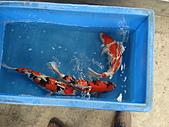 御三家錦鯉(來自福爾摩莎及台灣錦鯉網的超級錦鯉相片):DSC00856.JPG