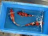 御三家錦鯉(來自福爾摩莎及台灣錦鯉網的超級錦鯉相片):DSC00857-5.JPG