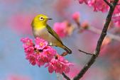 birds:繡眼133a.jpg