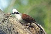 birds:白冠笑鶇.jpg