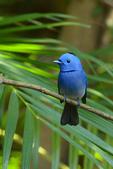 birds:黑枕藍鶲.jpg