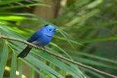 birds:黑枕藍鶲b.jpg