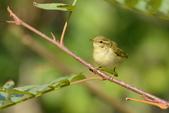 birds:極北柳鶯01.jpg