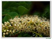 小實孔雀豆:小實孔雀豆15.JPG