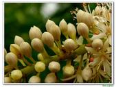 小實孔雀豆:小實孔雀豆16.JPG